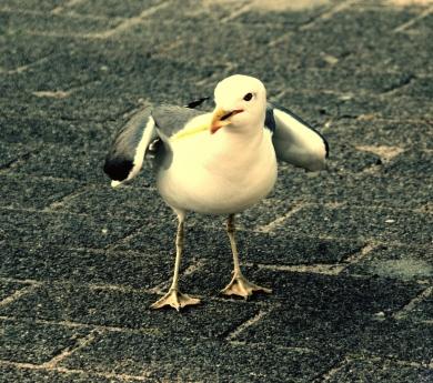 Slimme meeuw. Hoefde nog maar één duif weg te jagen. Wat overigens niet moeilijk was