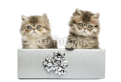 Persian kittens sitting in a silver present box