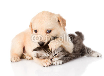 golden retriever puppy dog and british cat fight. isolated