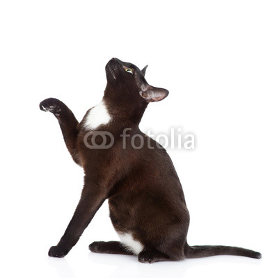 playful black cat sitting in profile. isolated on white