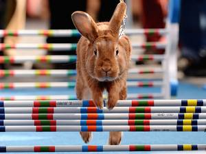 Inspired by equestrian jumping events, rabbit enthusiasts in the Czech Republic organized a bunny hop competition as an early Easter celebration
