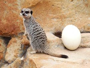 17 April 2014: A meerkat by an Ostrich egg in the Meerkat and Mongoose mansion at the Yorkshire Wildlife Park near Doncaster