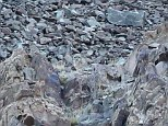 Can you spot him? A snow leopard