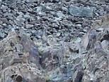 Can you spot him? A snow leopard