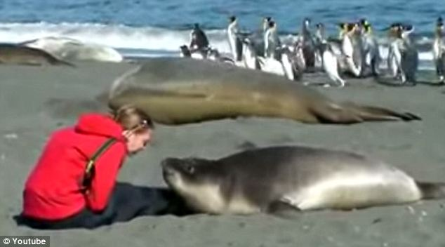 Close encounter: The brave lady leans closer to the southern elephant seal as the beast wriggles toward her
