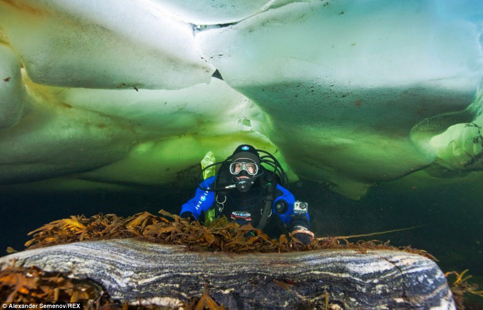 Team member Olga Grum-Grzhimaylo dives under ice to collect scientific samples of gelata in the White Sea, Russia