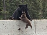 Phew: Just in time, the mother bear, pulls her little one over the cement boundary and hauling it to safety