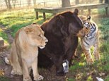 Say cheese: Leo, Baloo and Shere Khan pose up for a family portrait in the morning sun