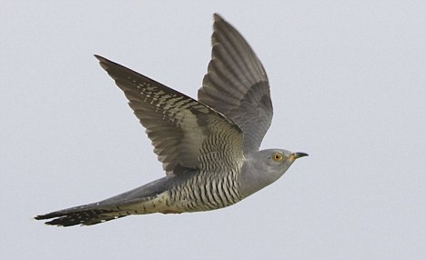 A cuckoo in flight: Researchers have found the birds are masters of disguise
