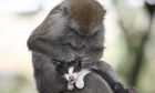 Kimon, a long-tailed monkey grooms a kitten, whom, she treats as her baby, Bintan Island, Indonesia