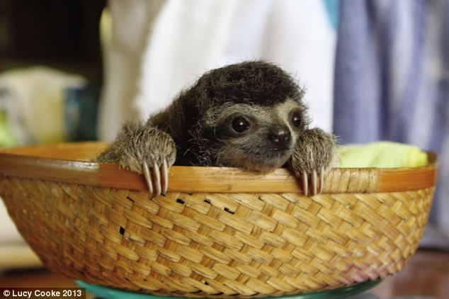 Basket case: In the wild, sloths eat leaves that would poison other animals - it takes their stomachs four weeks to digest each meal, breaking down the toxins. So, while they might look lazy, inside their bodies are hard at work