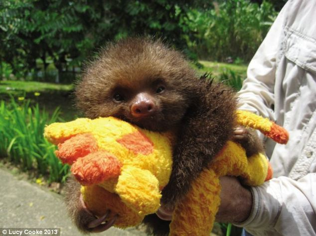 Toy story: Babies cling to their mothers for the first 12 months before going it alone, so orphaned sloths get stuffed toys to hug instead. Baby Matteo refuses to be separated from his giraffe called Mr Moo