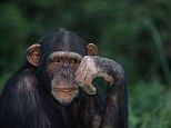 But scientists have found that the HSV-1, which manifests itself as cold sores, infected hominids before the evolutionary split from chimpanzees (pictured) six million years ago