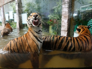Bengal tigers play in a pool of water at the zoo in Malabon, Metro Manila...