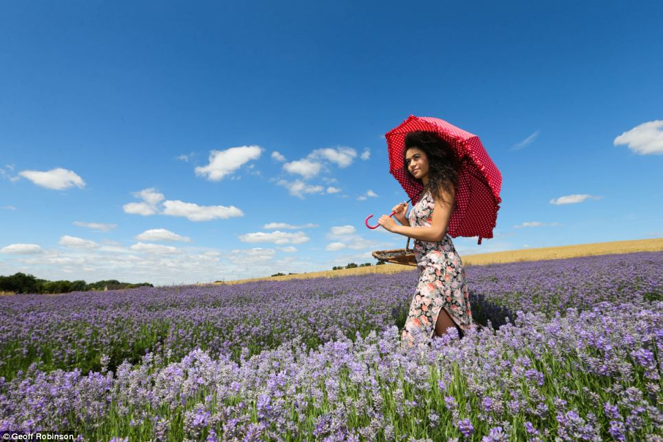 Under my umbrella: Bethany Joseph, 20, makes the most of the warm weather today while picking lavender at Cadwell Farm in Hitchin, Hertfordshire