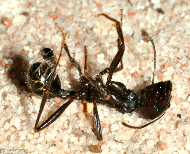 In this final image the ant is taken down by the juvenile spider. It is seen here feeding on the gaster (part of the abdomen) of the paralysed ant. The venom glands of the adult ant-eating spiders are more than 50 times larger than those of the juveniles, but the latter is still enough to take down an ant