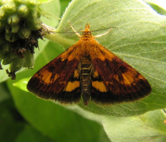 Pyrausta orphisalis, a day flying moth, on mountain mint