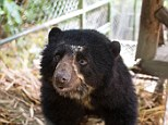 Rare sight: The Andean Spectacled Bear is on the list of critically-endangered species