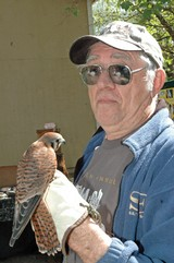 VOLUNTEER FALCONER: This feisty American Kestrel, blind in one eye, perches on the hand of center volunteer Daryl Chase during an open house at Shasta Wildlife Refuge and Rehabilitation.