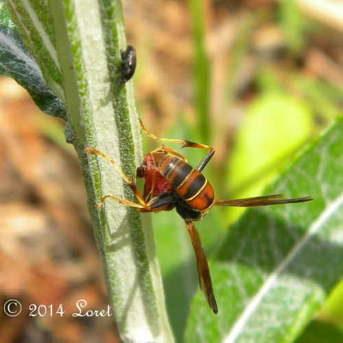 Now the paper wasp is being shy of Blackroot, a Florida Native Plant