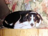 Medieval torture: 14-year-old beagle mix Nibbles was fed razor blades wrapped in Canadian bacon by a neighbor who believed he barked too much