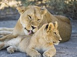 Too sweet: A lioness grooms her cub in Tanzania
