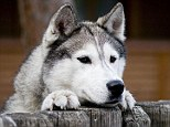 Nextdoor neighbours: The cosy wooden lodges are situated right next to where the huskies sleep so guests can pop in and visit