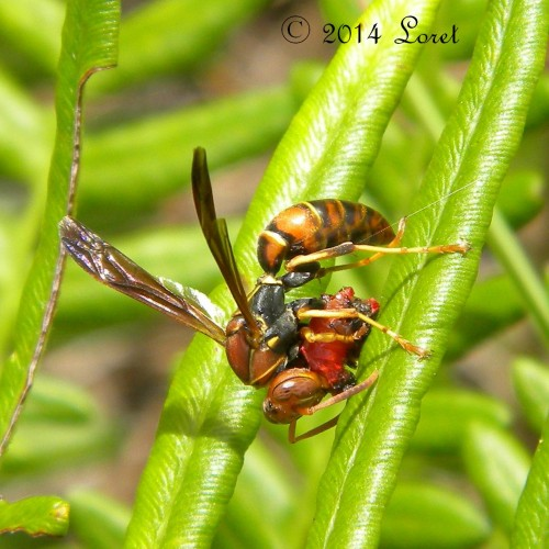 Paper Wasp on a native fern