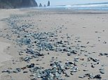 pic stranding of by-the-wind sailors in La Push, Washington; photo via NOAA Olympic Coast National Marine Sanctuary  They ride the wind and currents, traveling in whatever direction nature intends, and every so often the mysterious blue sea creatures end up stranded on beaches throughout the west coast of North America.  This is one of those years.  By-the-wind sailors, as the gelatinous, oval-shaped critters are sometimes called, began washing ashore in Washington and Oregon more than a month ago. Since then the mass stranding has taken on the form of an alien-like i