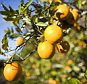 Oranges hang on trees before being picked in a grove January 6, 2010 near Winter Garden, Florida. Citrus workers have been hurrying to harvest the fruit before it is damaged by freezing temperatures. (Photo by Matt Stroshane/Getty Images)