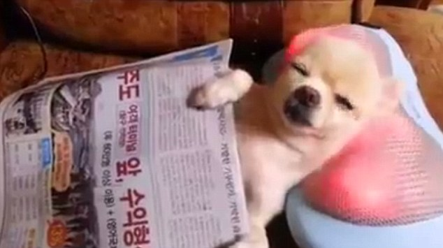 Chilling out: With his front paws on top of the newspaper as though he is holding it, the Chihuahua looks as though he's resting his eyes after having a good read