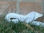 On the loose: This photo - taken by a Thousand Oaks resident - shows the albino monocled cobra that is loose in the area