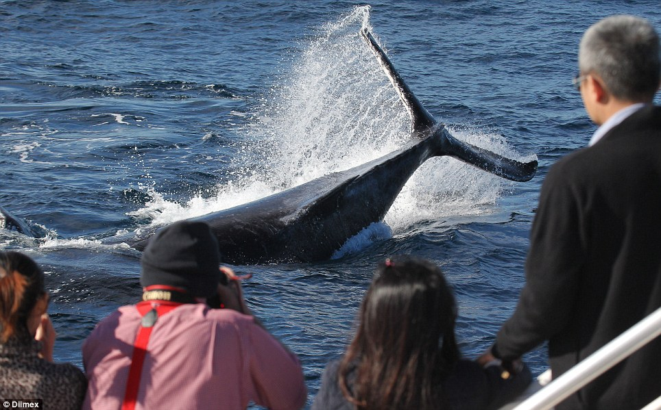 More than 20,000 humpbacks are expected to pass Sydney as they head north to warmer waters off the Queensland coast