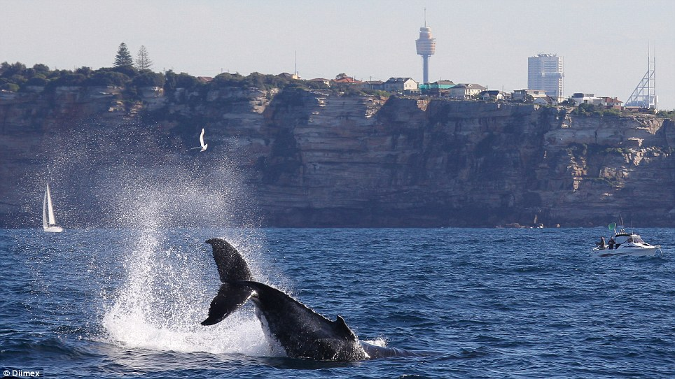 Welcome: The start of the whale-watching season kicked off with a stellar number of humpback whales spotted of the Bondi Beach coast, pictured, and Botany Bay in Sydney's south east