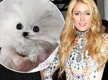 What will her other SIX dogs think? Paris Hilton pays $13,000 for a miniature Pomeranian that she names Mr. Amazing
