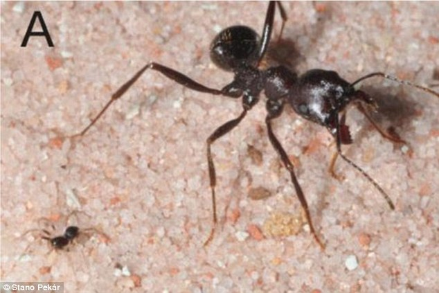This first image in an incredible sequence shows the moment a juvenile Zodarian cyrenaicum spider attacked and killed a worker ant up to six times its own size. Here the juvenile approaches its prey and gets ready to unleash its paralysing venom