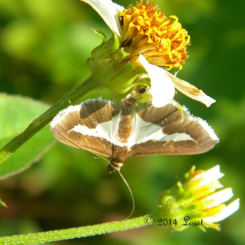 Diaphania Moth