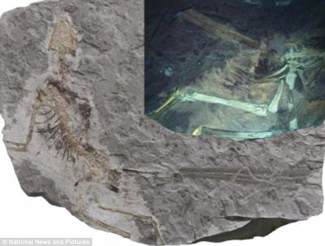 A feathered dinosaur, Epidexipteryx, was found at the site. The inset shows feathers and soft tissues revealed by the use of ultraviolet light