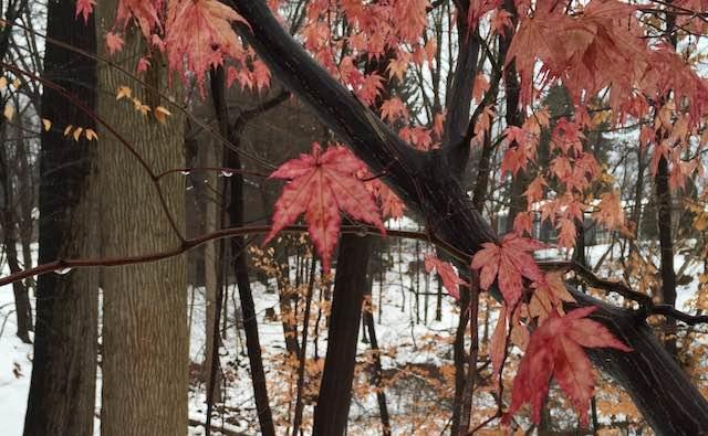December Pink Leaves