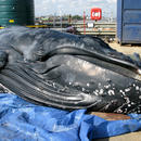 Stranded humpback whale found dead in the River Thames