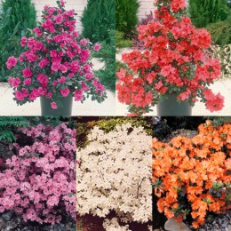 Dwarf Diamond Japanese Azalea Collection