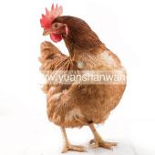 罗曼老母鸡1.3kg