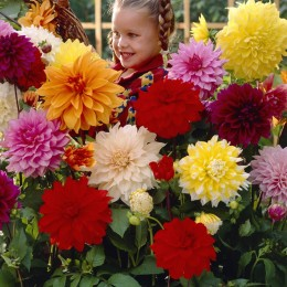 Dahlia - Giant Dinner Plate Collection