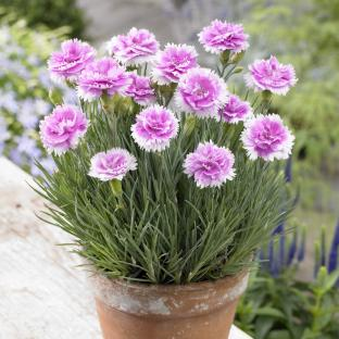 Dianthus (Hardy Pinks)