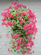 ampel9 - 10 самых популярных вьющихся растений