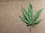 A marijuana leaf is displayed at Canna Pi medical marijuana dispensary in Seattle, Washington, November 27, 2012. Washington State's Initiative 502, that was approved by voters in the November 6, 2012 general election, legalizes marijuana in Washington State effective December 6, 2012. Marijuana remains illegal at the Federal level. Picture taken November 27, 2012.  REUTERS/Anthony Bolante (UNITED STATES - Tags: SOCIETY DRUGS POLITICS HEALTH AGRICULTURE BUSINESS)