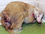 PIC: APEX 24/03/2015 Pictured: A rare albino badger that was found with injuries on his neck and rump and has been admitted to the RSPCA for care. The male badger was found in an outdoor toilet in Beaminster in Dorset and admitted to RSPCA West Hatch Wildlife Centre in Taunton, Somerset, on Saturday March 21. He is now recovering from his wounds and is expected to be returned to the wild once he is back to full strength. ** SEE STORY BY APEX NEWS - 01392 823144 ** ---------------------------------------------------- APEX NEWS & PICTURES NEWS DESK: 01392 823144 PICTURE DESK: 01392 823145