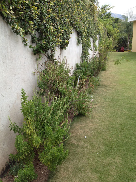 Some shrubs by a wall.