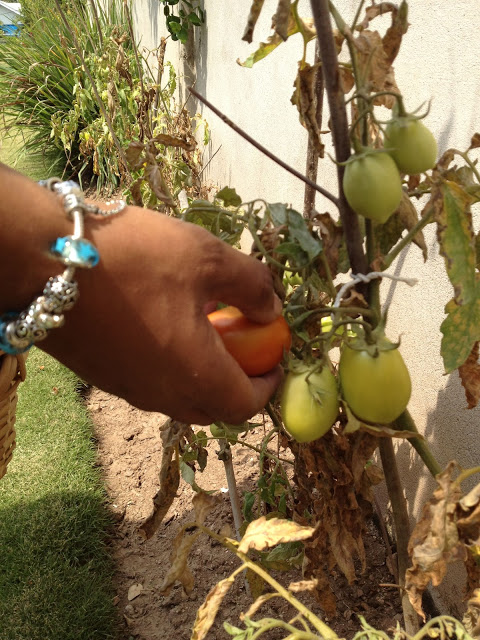 Hand picking a tomato from the vine.