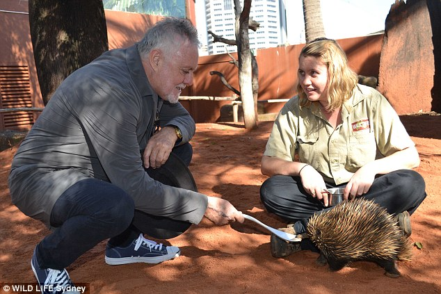 Hands on experience: Musician Roger fed a spiky echidna with a long, white spoon as he crouched down on the red dirt